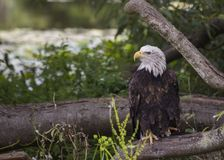 American Bald Eagle Haliaeetus leucocephalus Stock Images