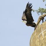 American bald eagle (Haliaeetus leucocephalus). Taking flight with blue sky background Stock Images