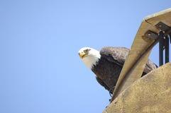 American bald eagle (Haliaeetus leucocephalus) Royalty Free Stock Photo