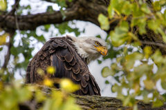 American Bald Eagle in HDR High Dynamic Range Stock Photo