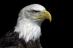 American bald eagle head close up against black background. Magnificent iconic bird of prey and national bird of USA Stock Images