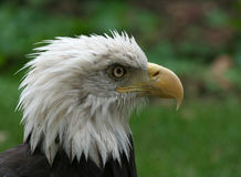 American Bald Eagle Head Shot Stock Image