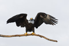 American Bald Eagle Holding a Fish. A photo of an American bald eagle on a perch with its wings spread.  It is holding a fish in its beak. It was taken in Homer Stock Photography