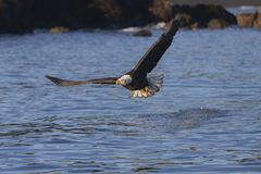 American Bald Eagle in Homer stock image