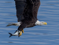 Free American Bald Eagle In Flight Royalty Free Stock Photo - 84140535