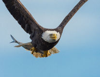 Free American Bald Eagle In Flight Royalty Free Stock Image - 84141776