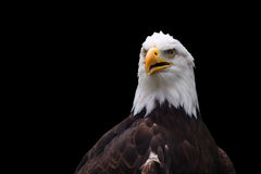 American Bald Eagle. Isolated on black background Stock Images