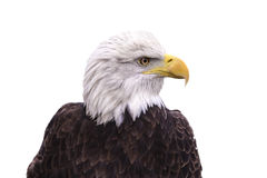 American Bald Eagle isolated on a white. Background Stock Images
