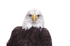 American Bald Eagle isolated on white Royalty Free Stock Photos