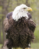 American Bald Eagle with its Feathers Fluffed Royalty Free Stock Photo