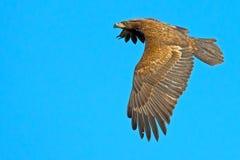 American Bald Eagle Juvenile Stock Image