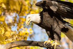 American Bald Eagle. Landing on large tree branch on sunny fall morning Royalty Free Stock Images
