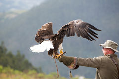American Bald Eagle landing in Otavalo, Ecuador. OTAVALO, ECUADOR, FEBRUARY 28: Flying American Bald Eagle landing on the glove of his trainer at an outdoor bird Stock Image