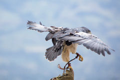 American Bald Eagle landing in Otavalo, Ecuador Stock Photography