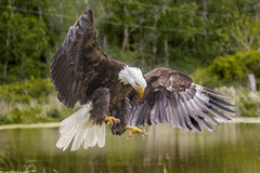 American Bald Eagle. Bald Eagle landing over a pond Royalty Free Stock Image