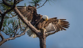 American Bald Eagle landing. In pine tree in Florida Royalty Free Stock Images