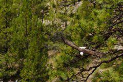 American Bald Eagle Leaves Nest Royalty Free Stock Images