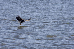 American bald eagle looking for food. In river Stock Photo