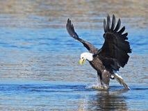 American Bald Eagle Stock Photo