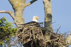American Bald Eagle in Nest. An American bald eagle sitting in its nest as it tends to its eggs or eaglets. This aerie (or eyrie) is about sixty feet up in the royalty free stock photo