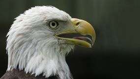 The American Bald Eagle. Old bald eagle portrait looking up royalty free stock image