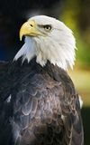 American Bald Eagle Over Shoulder against Black Royalty Free Stock Photography