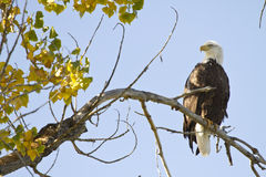 American Bald Eagle On The Perch Royalty Free Stock Photos