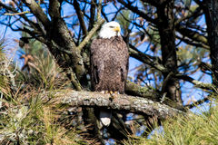 American Bald Eagle perched on a branch. Stock Photos