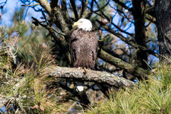 American Bald Eagle perched on a branch. Stock Images