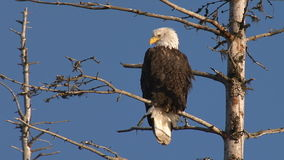 American bald eagle perched on dead spruce tree branch stock video