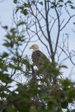 American Bald Eagle perched high in a tree royalty free stock photography