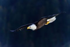 American bald eagle. This is an american bald eagle, photographed in Homer Alaska. He was soaring over the water looking for fish Royalty Free Stock Photography