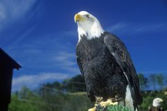American Bald Eagle, Pigeon Fork, TN stock image