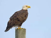 American Bald Eagle on Piling Royalty Free Stock Photos