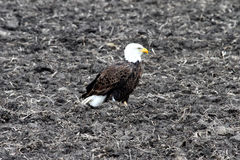 American Bald Eagle in a Plowed Field Stock Photos