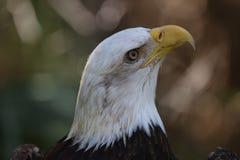 The American Bald Eagle stock photos