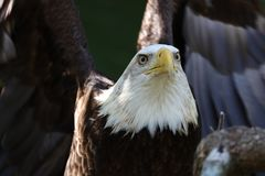 The American Bald Eagle royalty free stock images