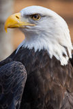 An American Bald Eagle perched in the morning sun. A portrait of an American Bald Eagle Royalty Free Stock Image
