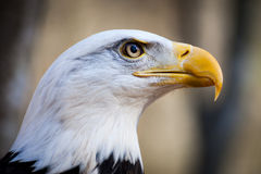 American Bald Eagle. A portrait of an American Bald Eagle Royalty Free Stock Images