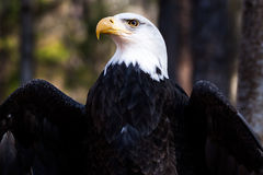 American Bald Eagle. A portrait of an American bald eagle Royalty Free Stock Photography