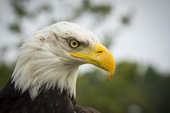 American bald Eagle portrait. Close-up portrait of a American bald Eagle (Haliaeetus leucocephalus), side view Royalty Free Stock Images