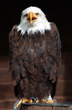 American bald eagle. Portrait of American bald eagle, full body Royalty Free Stock Photography