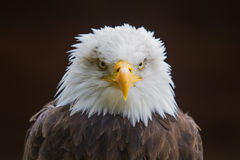 American Bald eagle portrait. Photo of an American Bald eagle portrait Stock Image