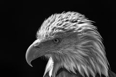 American bald eagle. Powerful high-contrast USA national bird mo. Nochrome image. Poignant close-up of the thoughtful face on this magnificent animal Royalty Free Stock Image