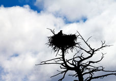 American Bald Eagle Protects Its Nest. An american bald eagle perches in a tree to protect its nest in Yellowstone National Park, Wyoming USA Royalty Free Stock Image