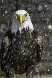 American Bald eagle in rain - nictitating membrane. This close-up picture of an American Bald Eagle clearly shows how the bird is protecting one eye vulnerable Royalty Free Stock Photography