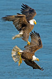 American Bald Eagle's. One Bald Eagle Chases Another With Fish Stock Image