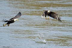 American Bald Eagle's with Fish. One Bald Eagle Drops Fish in Anticipation of another coming to attack Stock Photos