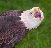 American Bald Eagle Scream Stock Photo
