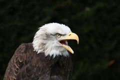American Bald Eagle. A bald eagle screeching against a dark background royalty free stock image